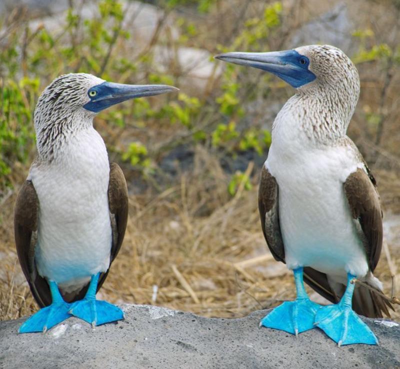 Blue footed booby Galapagos Llama Travel