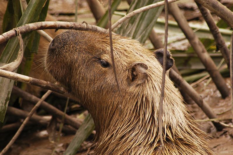 Capybara Amazon jungle Llama Travel