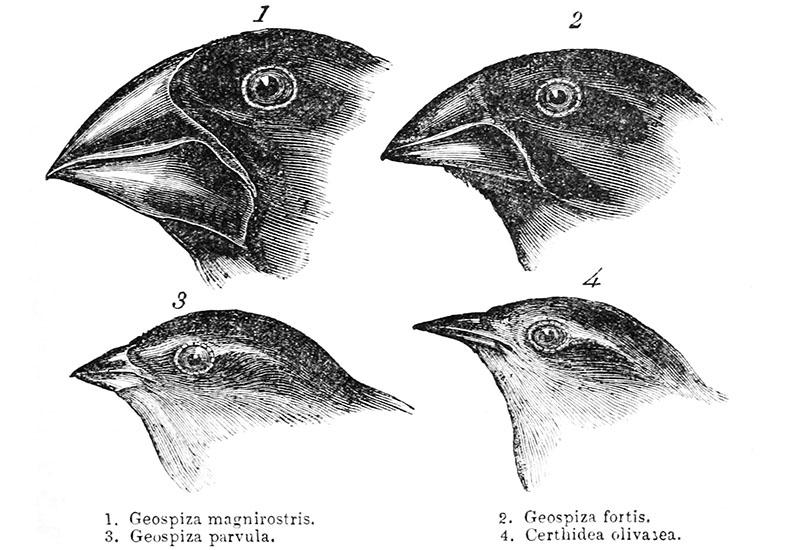 Darwins Finches Galapagos