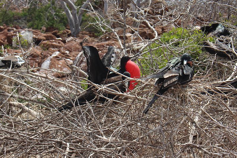 Frigate Bird Galapagos Llama Travel