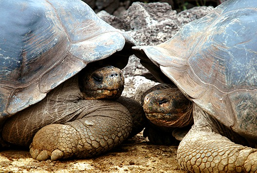 Galapagos tortoises Ecuador tourism board