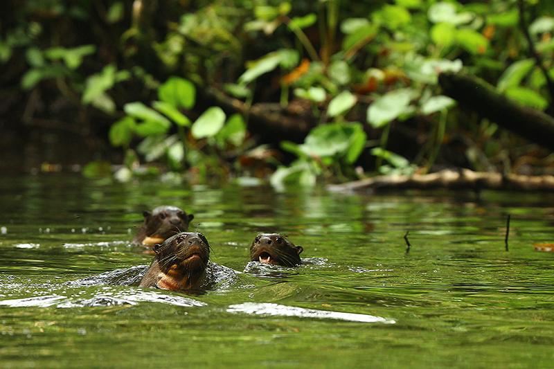 Giant Otters Amazon jungle Llama Travel