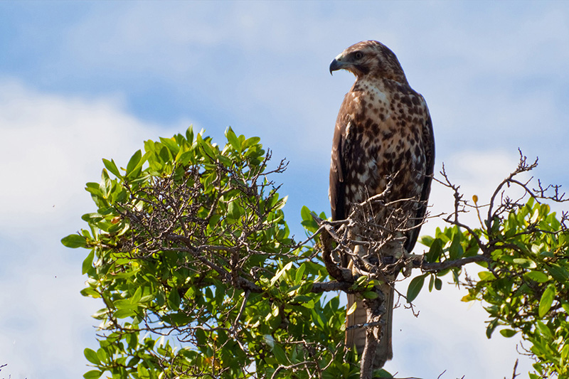 Hawk Galapagos Islands