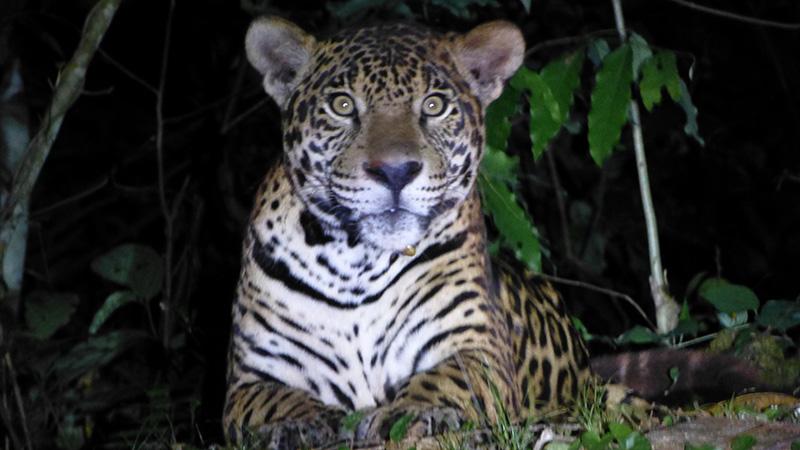 Jaguar Amazon jungle Llama Travel