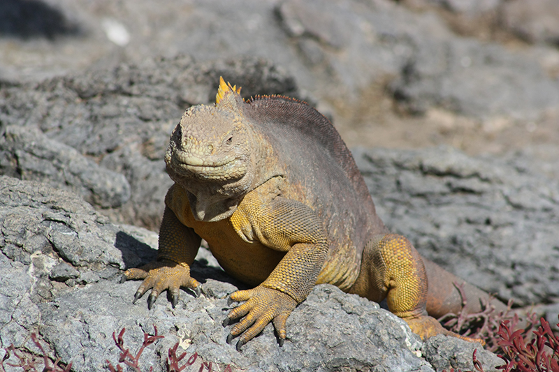 Land iguana Galapagos Ecuador Llama Travel
