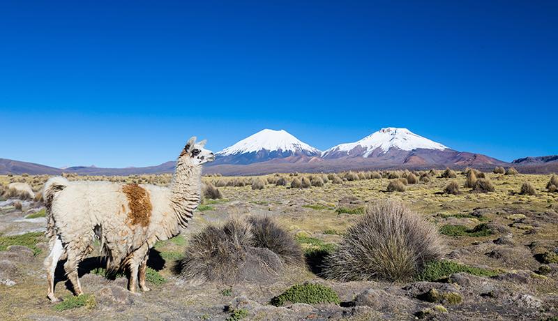 LlamaBolivia Llama Travel