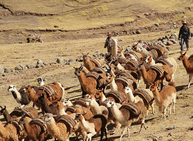 Llamas Andes
