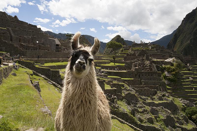 Machu Picchu Llama Llama Travel