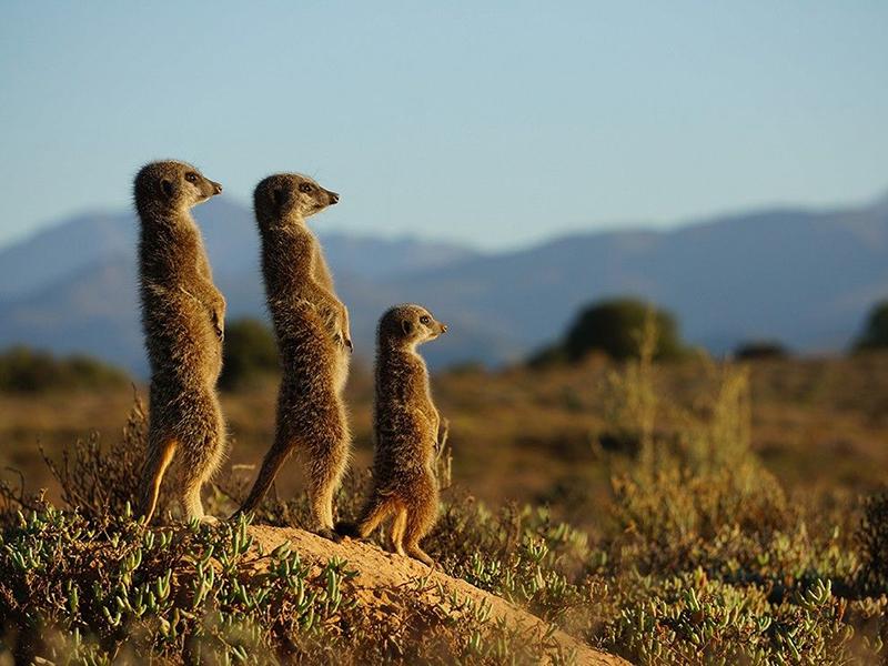 Meerkats South Africa