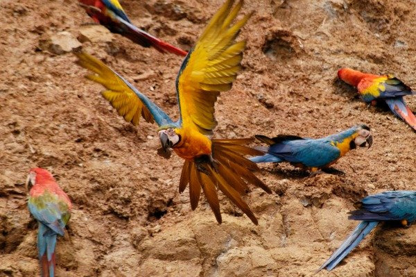 Parrots in the Amazon Jungle Peru