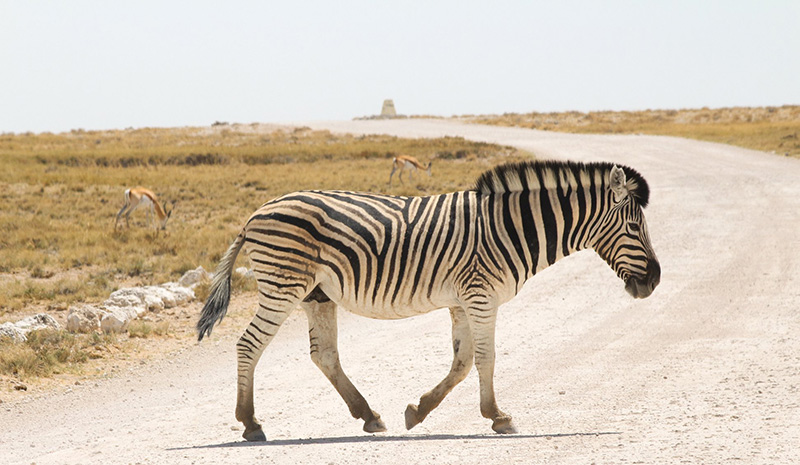 Photo 11 zebra in Etosha Pan Namibia holidays Llama Travel
