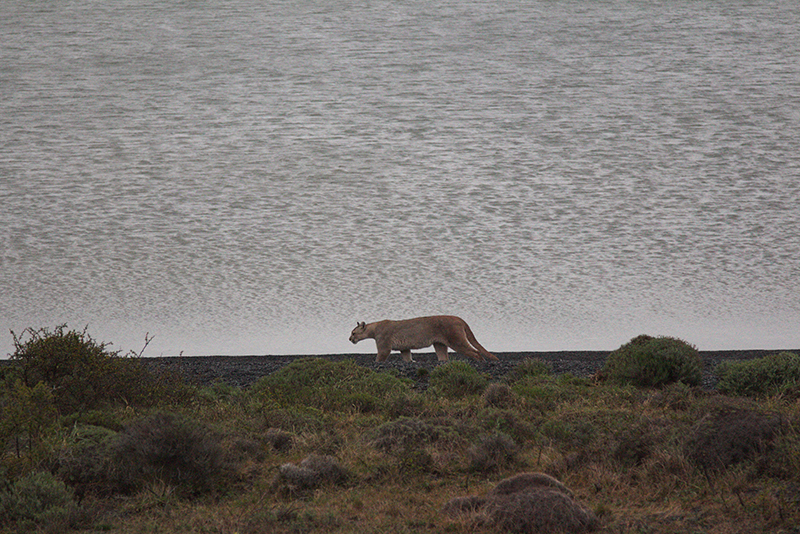 Puma sighting Torres del Paine Chile Llama Travel