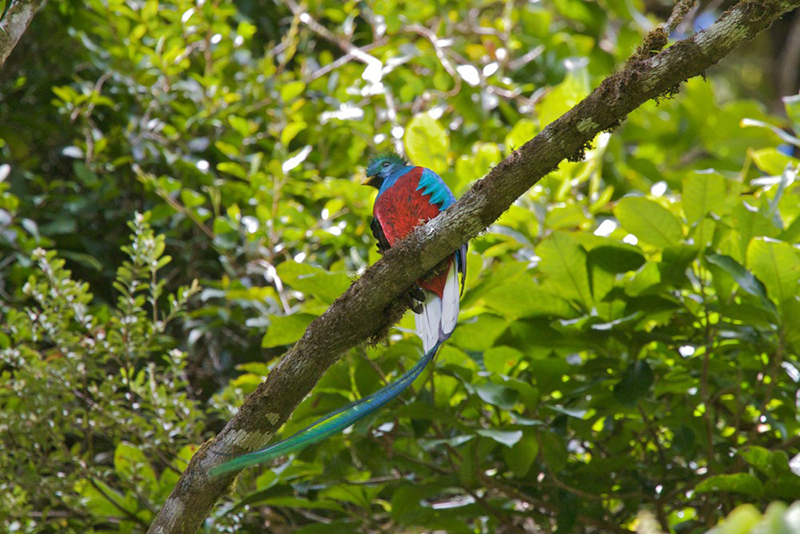 Quetzal bird Villa Blanca CLoud Forest Reserve Costa Rica Llama Travel