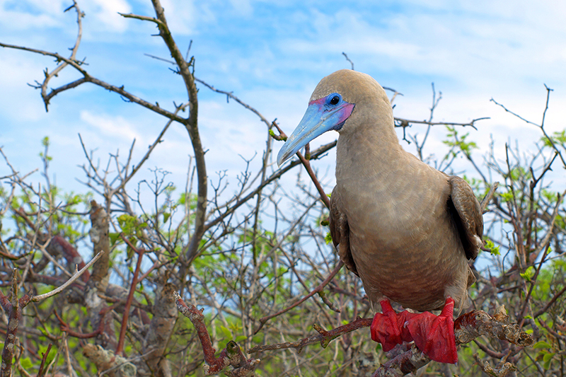 Red footed booby Galapagos Islands