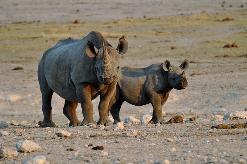 Rhinos Damaraland Namibia