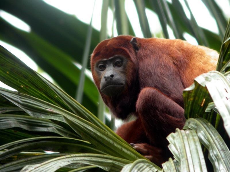 Sacha Lodge Red Howler Monkey