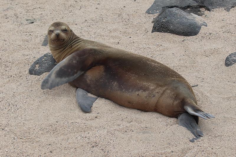 Sea Lion Galapagos Llama Travel
