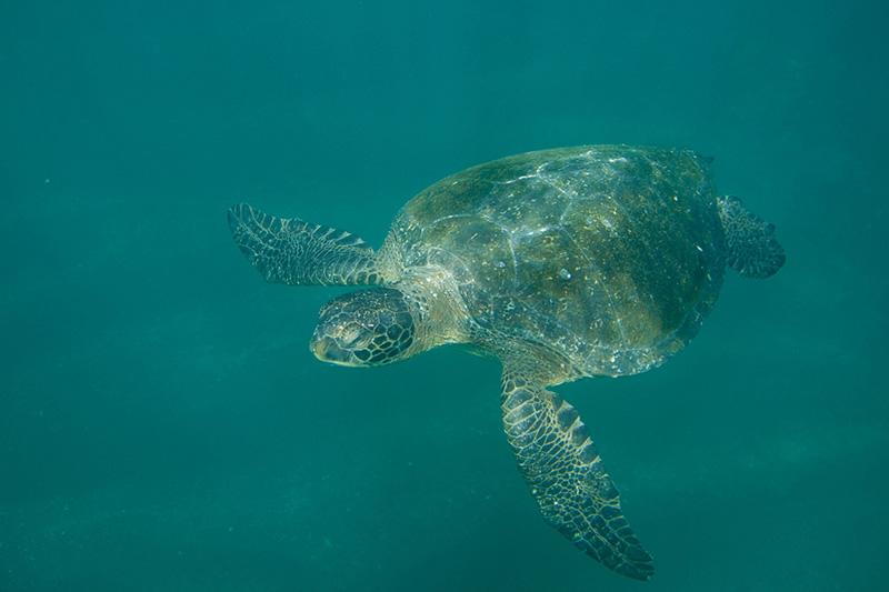 Sea Turtle Galapagos