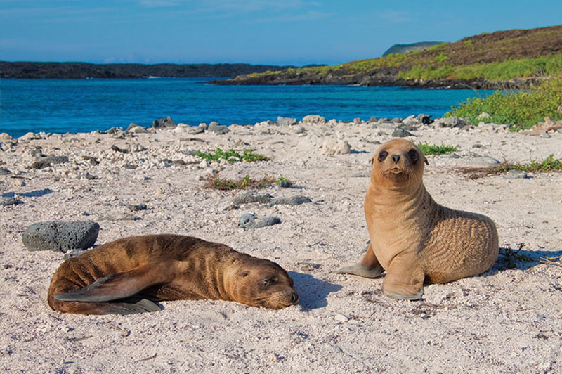 Sea lion cubs Galapagos Llama Travel