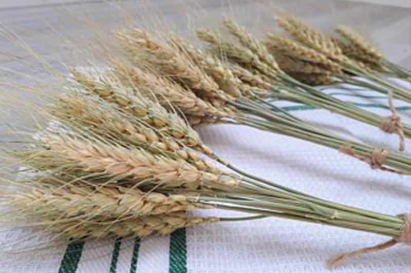 Shafts of wheat New Year Llama Travel
