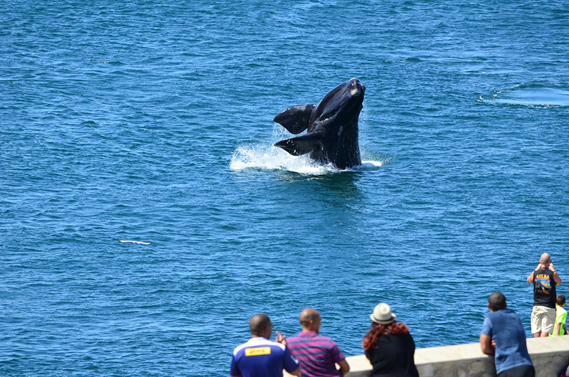 Whale watching Hermanus South Africa Llama Travel