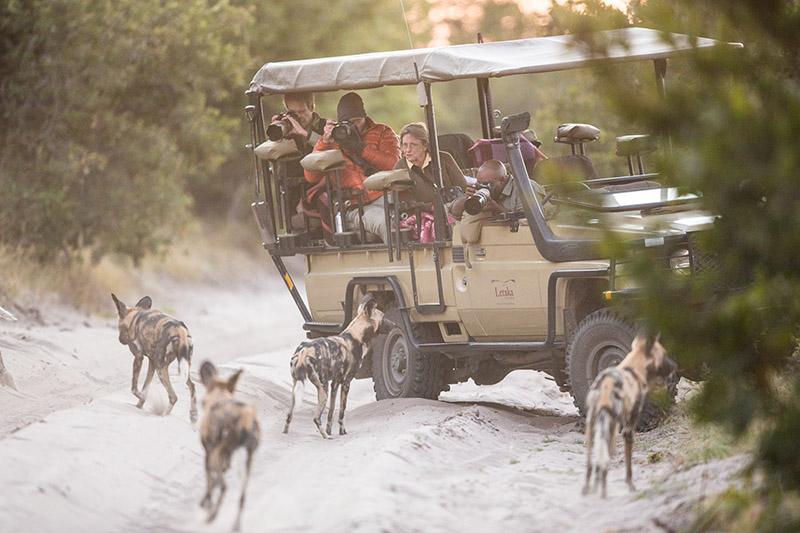 Wild dogs Okavango Delta Botswana