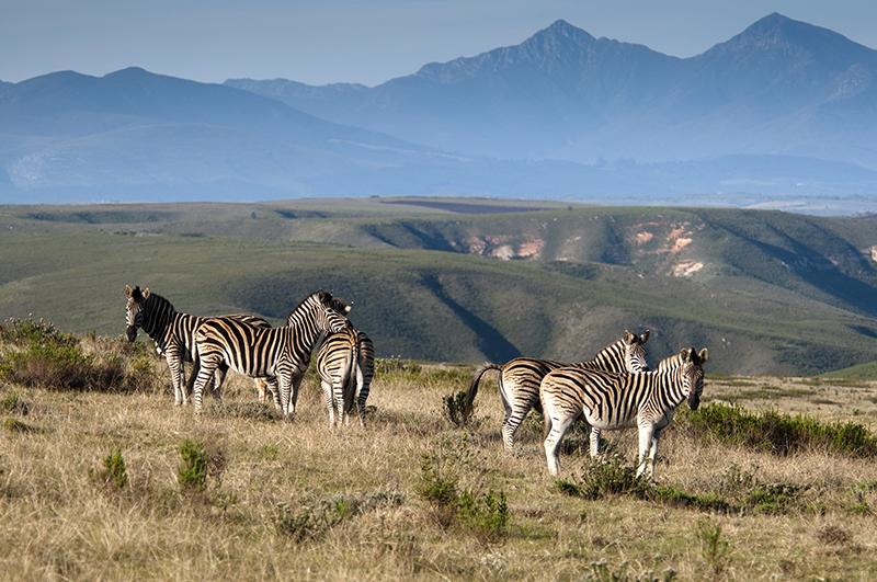 Zebras Gondwana Game Reserve South Africa