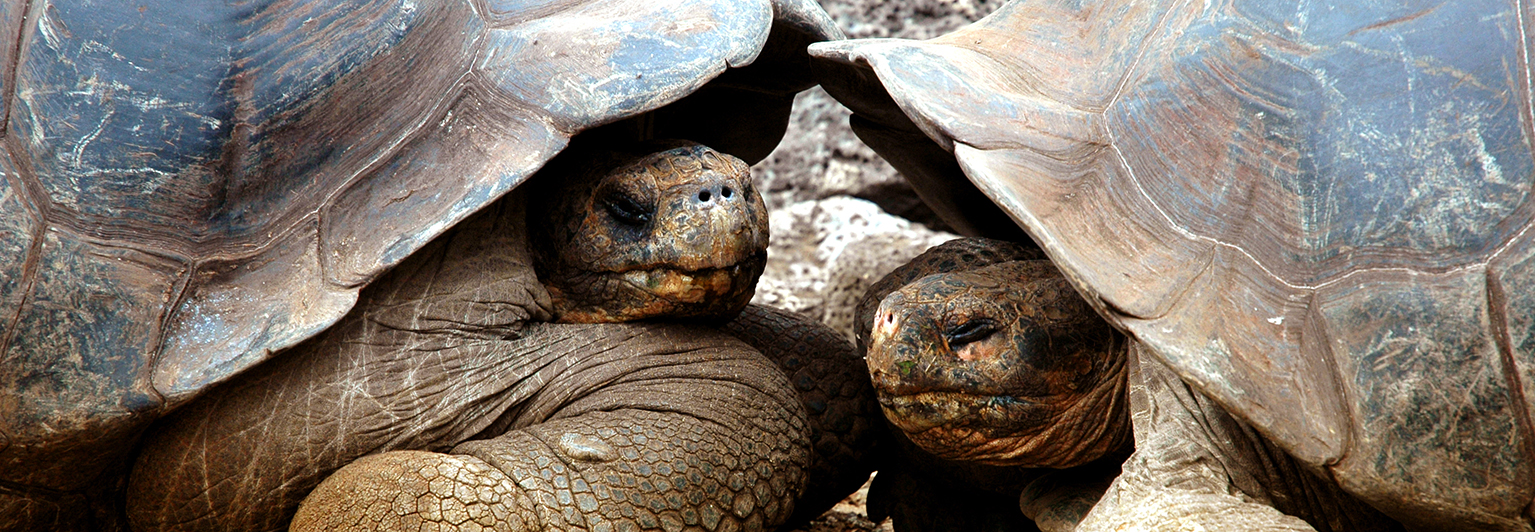 See Galapagos' famous giant tortoises