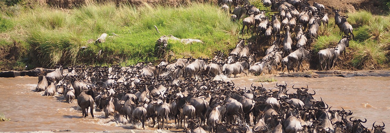 Witness Kenya's annual wildebeest migration