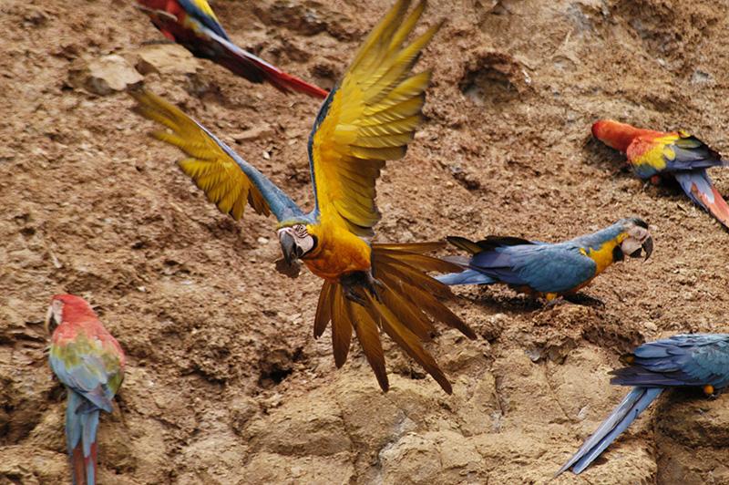 blue and gold macaw Amazon jungle Peru Llama Travel