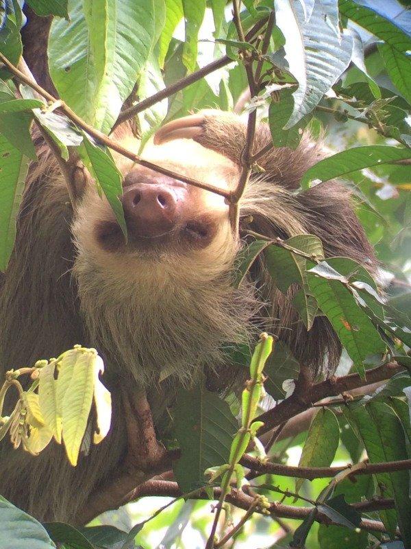 Sloth Tortuguero National Park Costa Rica