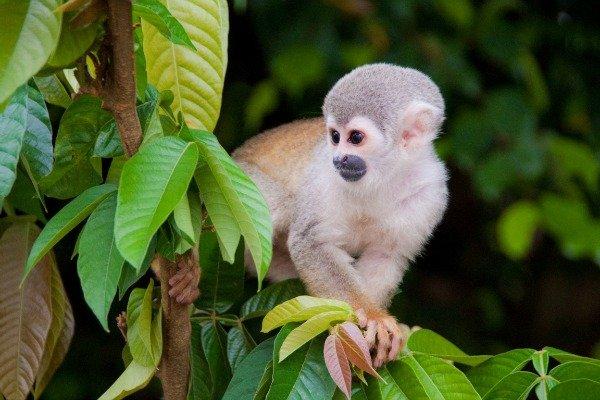 monkey Amazon Peru