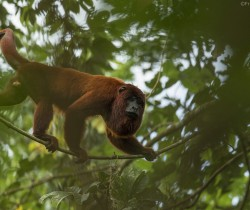 Howler monkey, Amazon, Peru ©Frank Pichardo