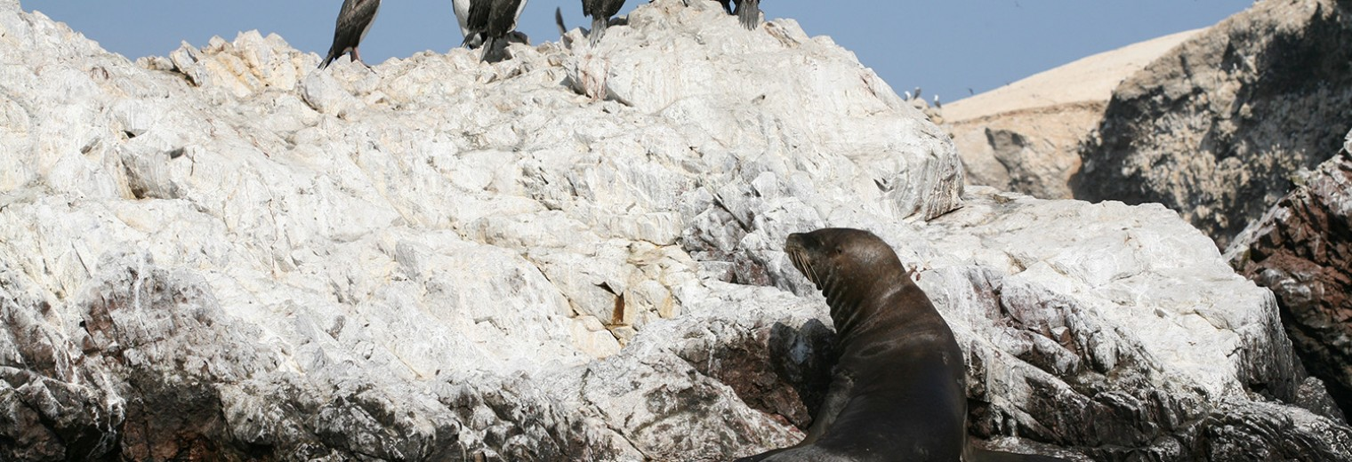 Sea lion, Ballestas Islands, Peru