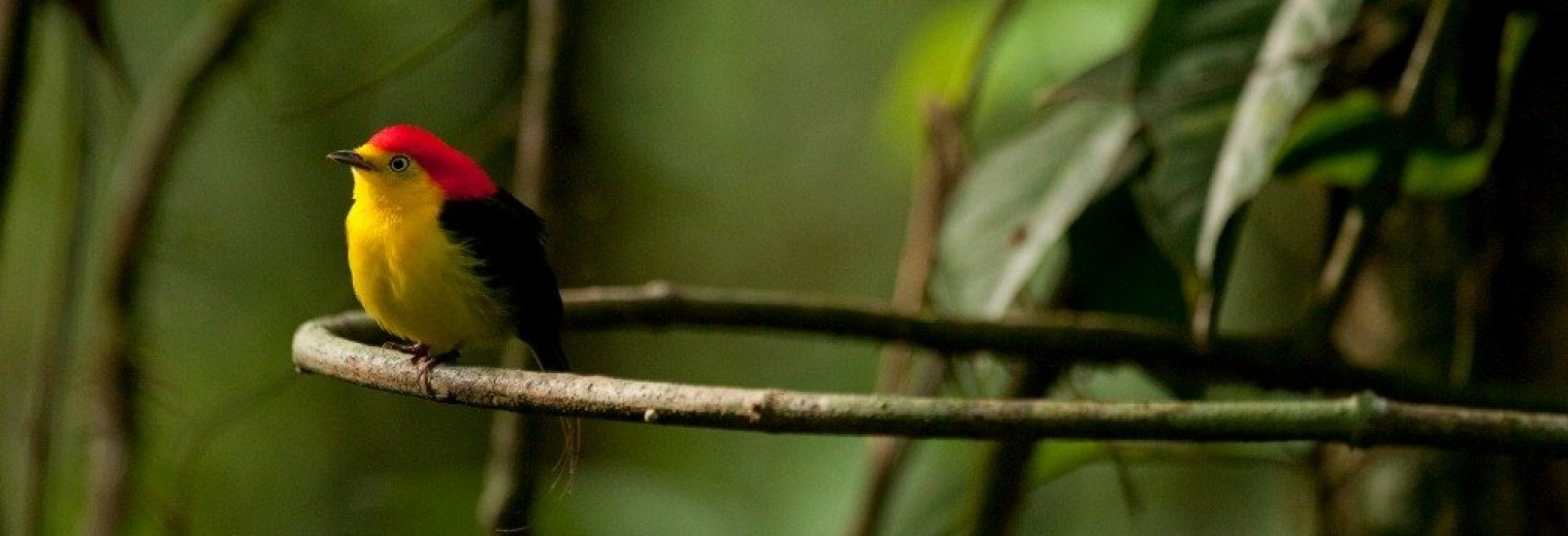 Little bird, Amazon, Ecuador
