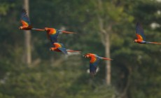 Macaws, Amazon Jungle