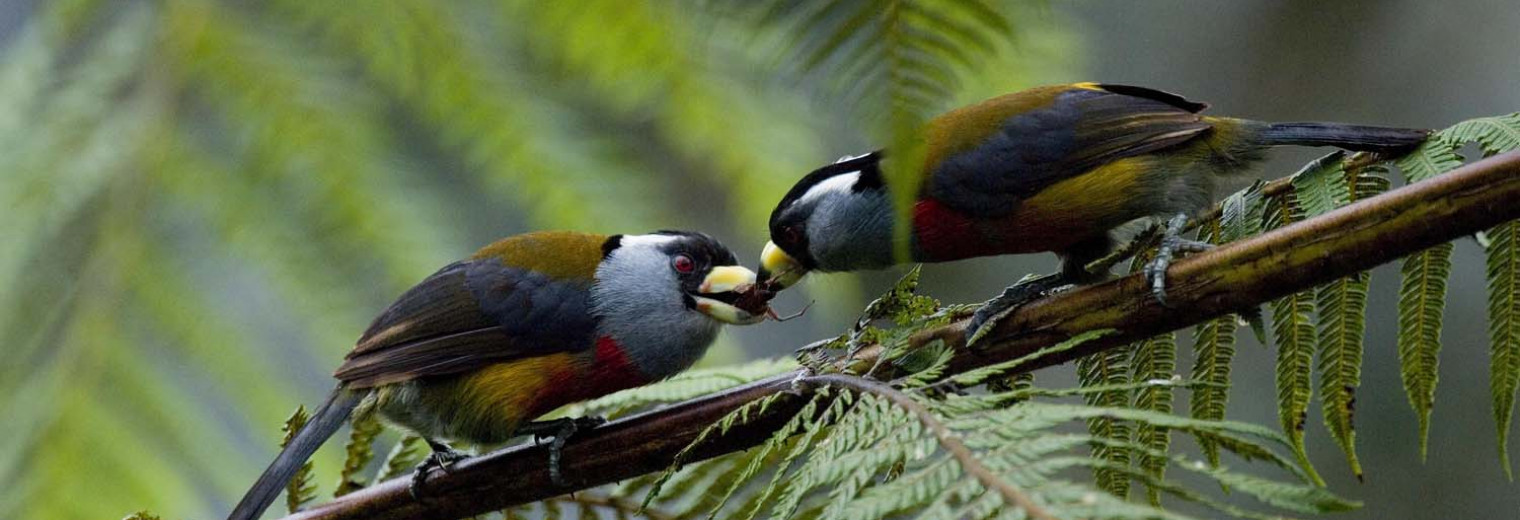 Two Toucan Barbets, Cloudforest, Ecuador