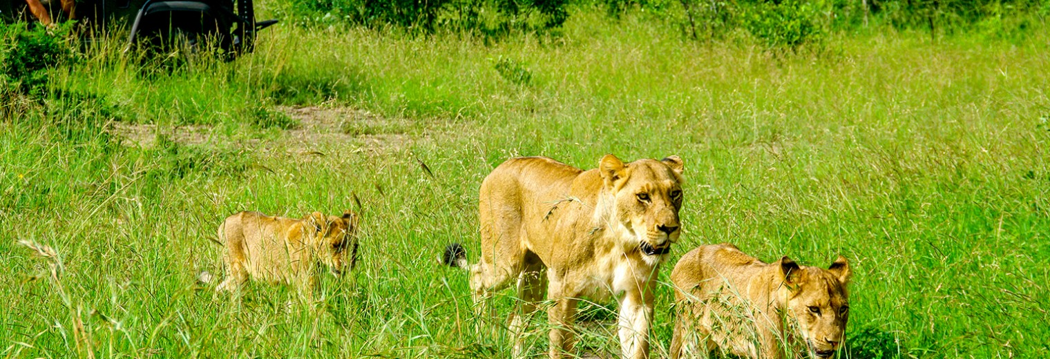 Lions on safari, Kruger, South Africa