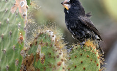 Cactus finch, Galapagos Islands