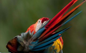 Parrot, Amazon, Peru, Llama Travel