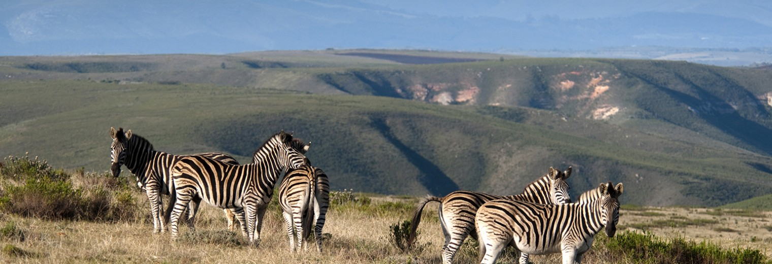 Zebra, Gondwana, South Africa