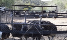Ostrich enclosure, Safari Ostrich Farm, South Africa