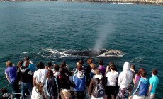 Whale watching, Hermanus, South Africa