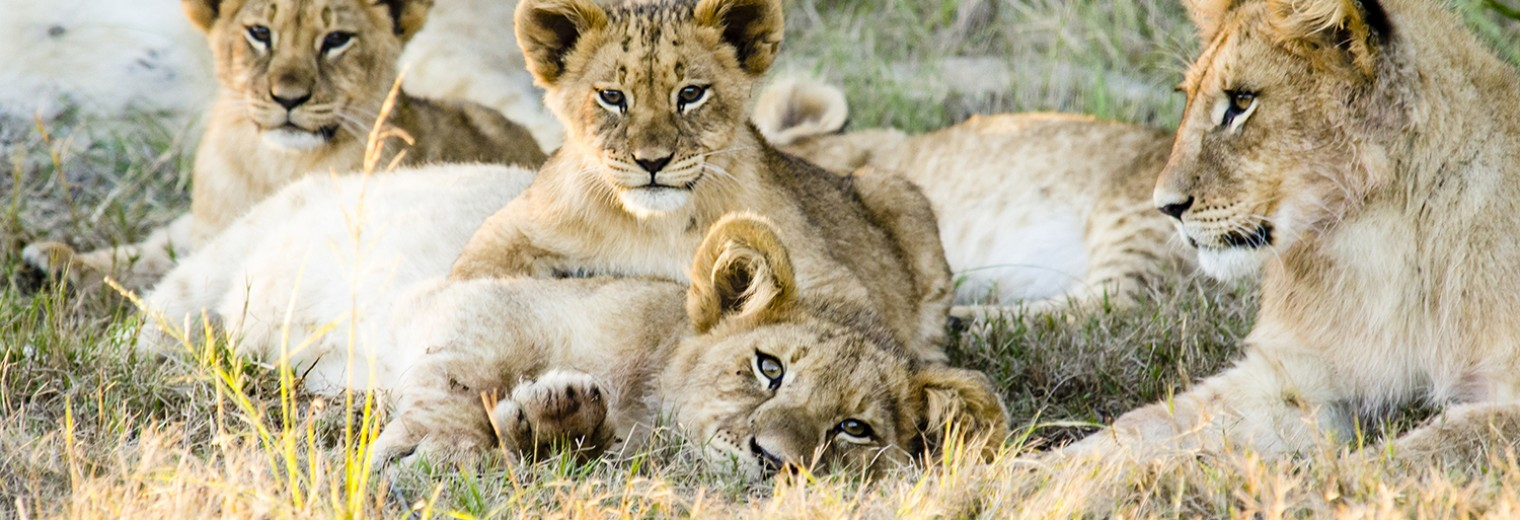 Lion cubs, Gondwana, South Africa