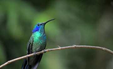 Hummingbird, Villa Blanca Cloud Forest