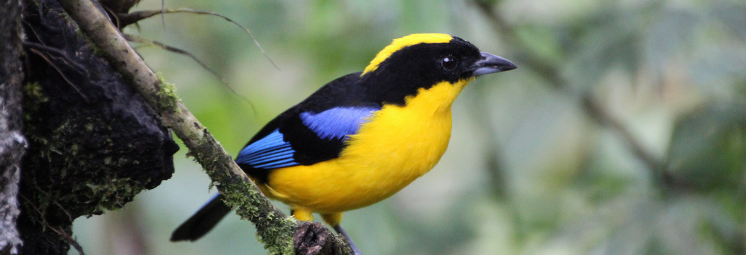 Blue winged Tanager, Cloud forest, Ecuador