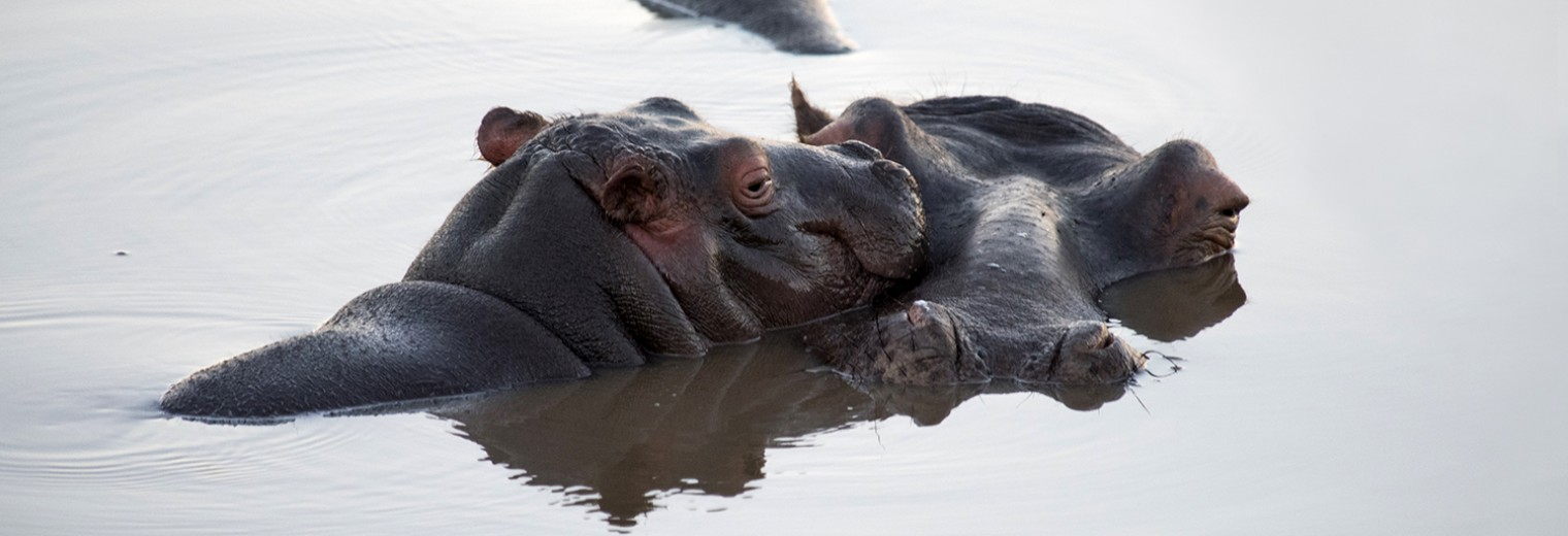 Hippo, Gondwana, South Africa