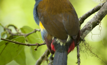 Plate-billed Mountain Toucan, Cloudforest, Ecuador
