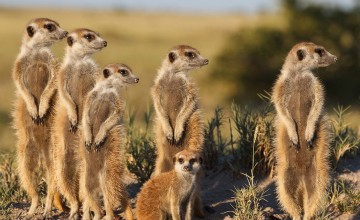 Meerkat magic, Oudtshoorn, South Africa
