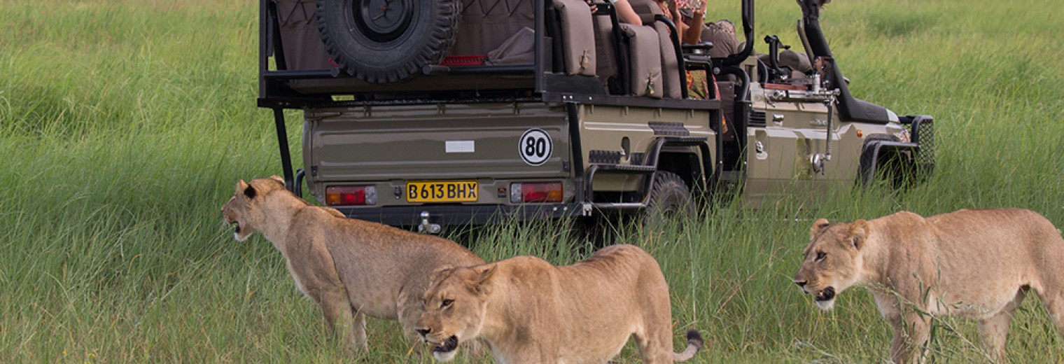 Lion with safari truck, Okavango, Botswana